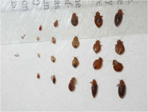 bed bugs compared