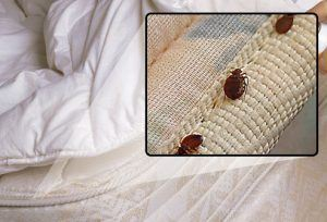 bed bugs crawling on sheets