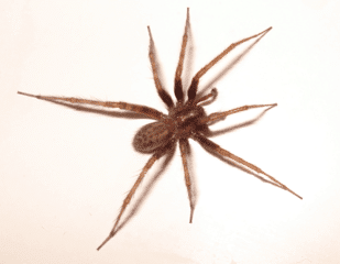 Common-House-Spider-Includes-The-American-House-Spider