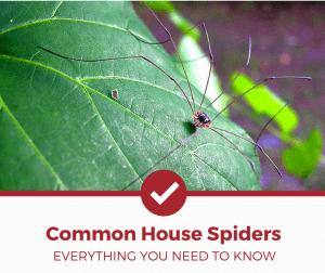 Common House Spiders
