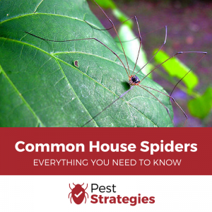 Common House Spiders - Everything You Need To Know