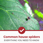 Common House Spiders – Everything You Need To Know