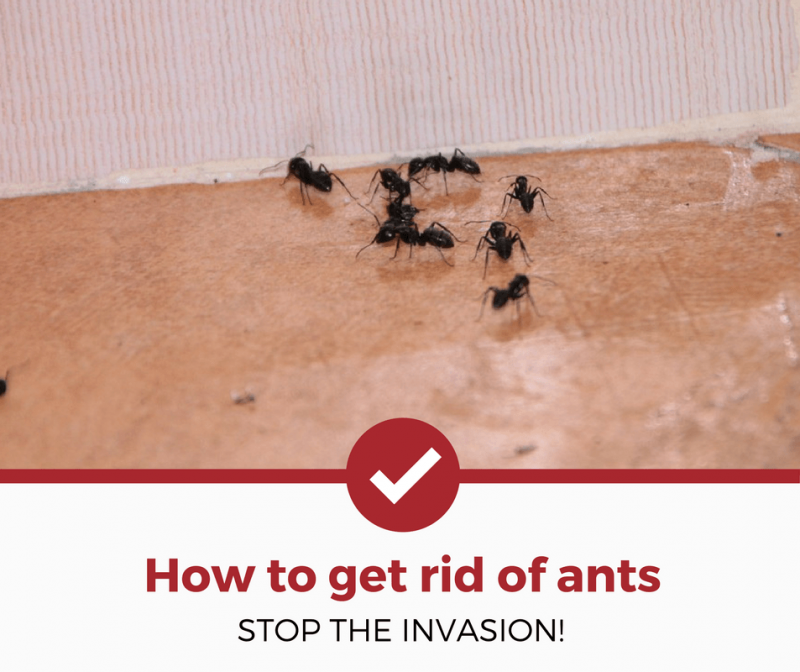 How To Get Rid Of Ants Complete Guide