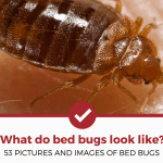 What Do Bed Bugs Look Like (53 PICTURES OF BED BUGS)