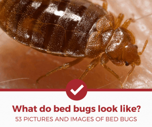 What do Bed Bugs Look Like - 53 Pictures Of Bed Bugs