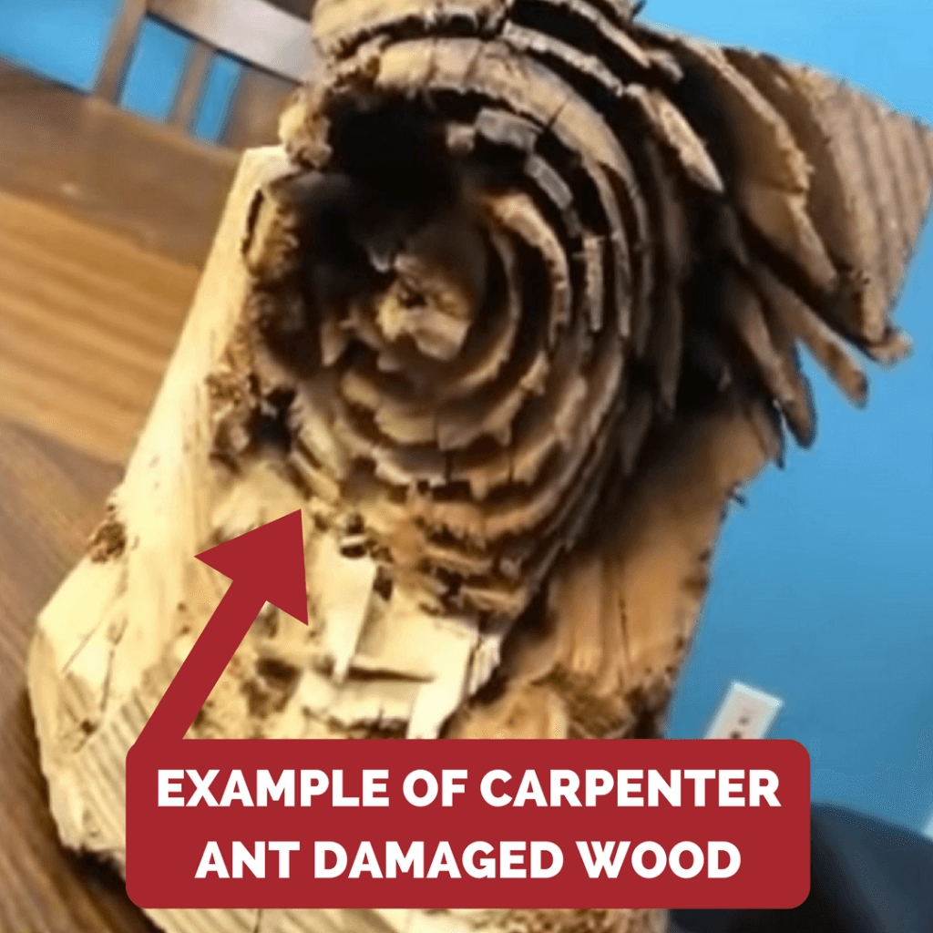 Carpenter ant wood damage