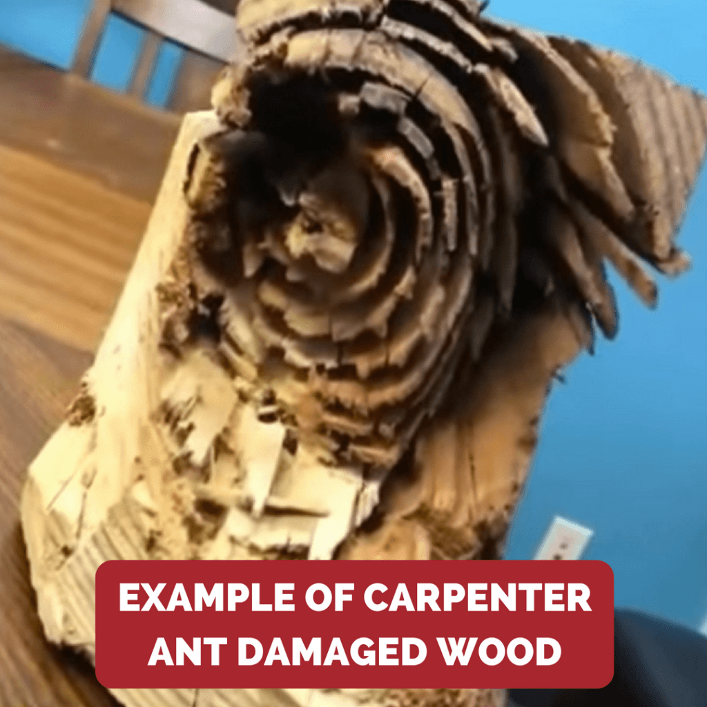carpenter ant damaged wood