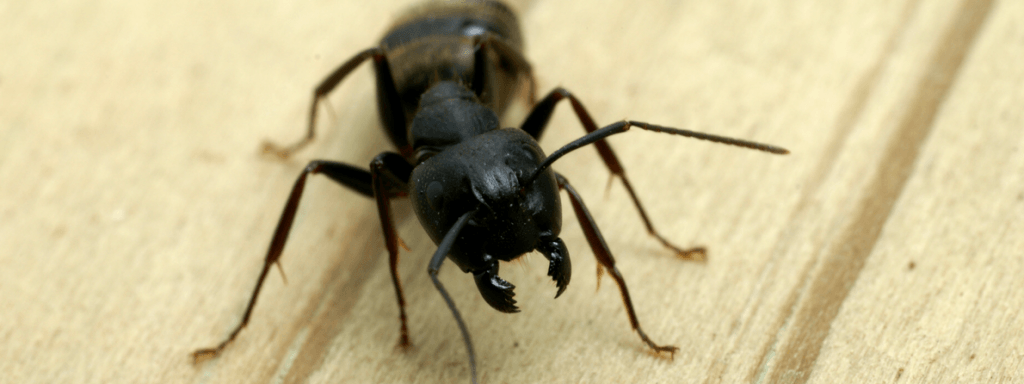 carpenter ant picture