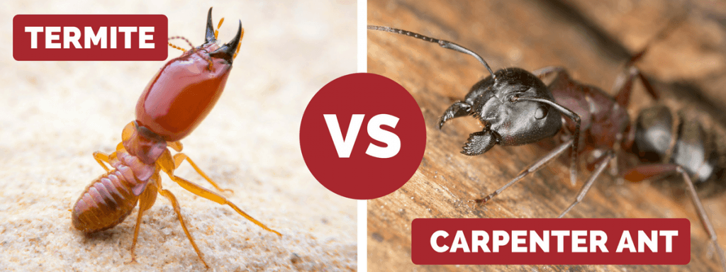 termite vs carpenter ant
