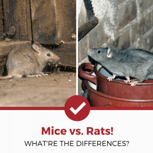 mice vs rats differences