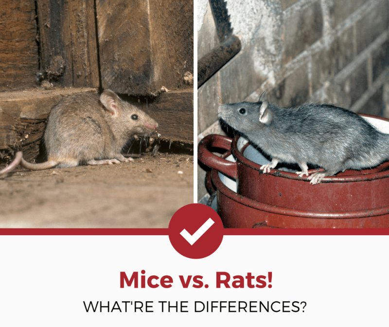 how to know if a rat is in your house