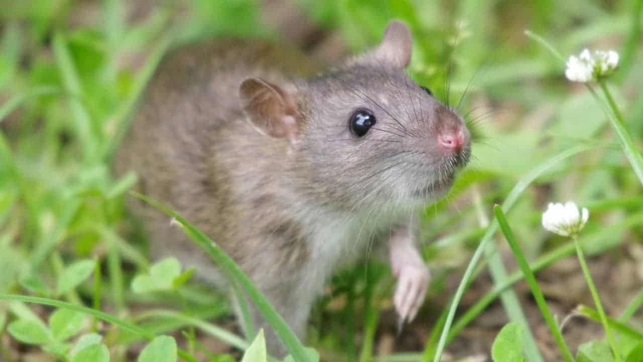 rat poisons for rats