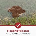 Yes, Floating Fire Ant Nests Exist And Are Terrifying (Here's What You Need To Know)