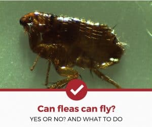 Do Fleas Fly? (Yes or No & What You Should Do)