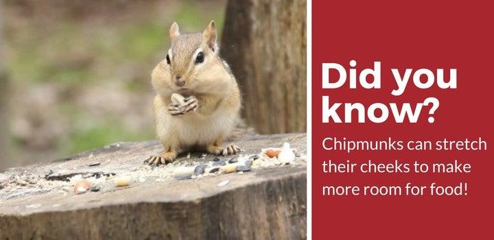 chipmunk stretch cheeks when eating