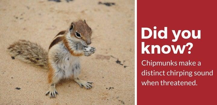 chipmunks feel threatened