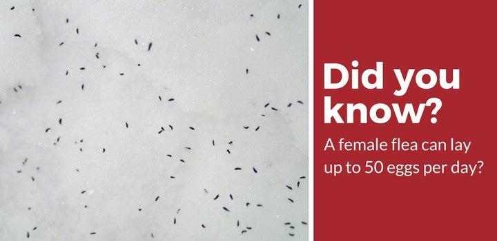 female flea eggs per day