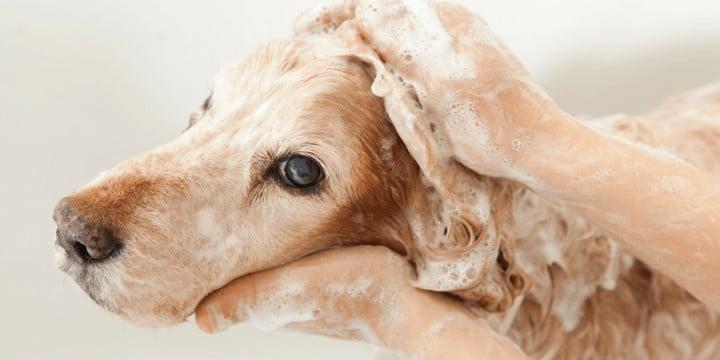 fleas on dog with shampoo in a bathtub