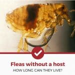 How Long Can Fleas Live Without a Host? [20 Big Questions Answered]