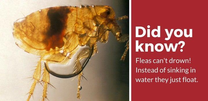 fleas cant drown