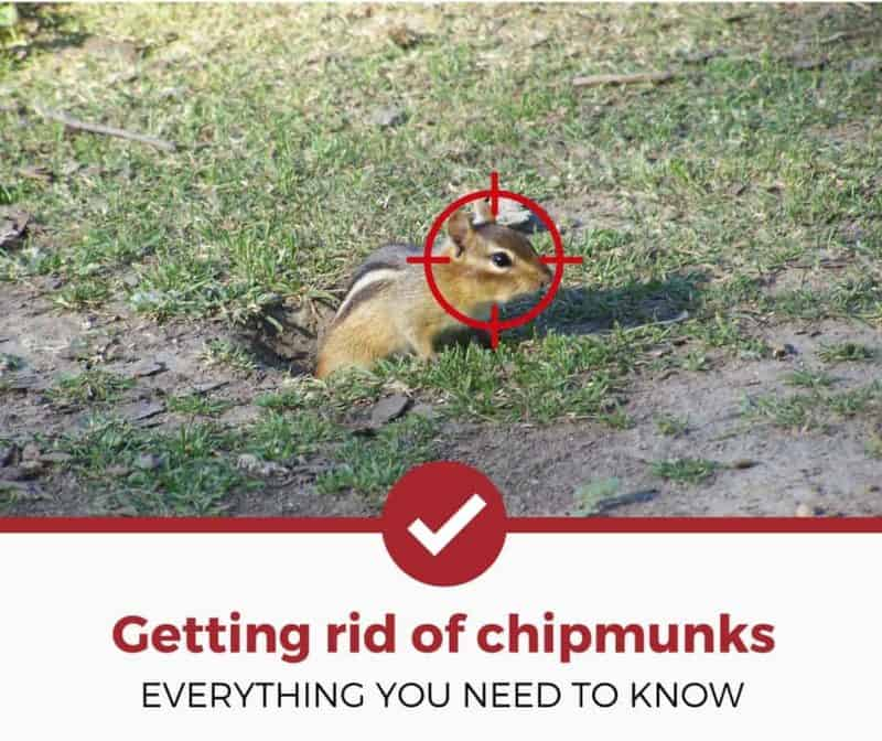 How To Get Rid Of Chipmunks The Definitive Guide