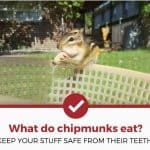 What Do Chipmunks Eat? (Nuts, Acorns, Wires, & More!)