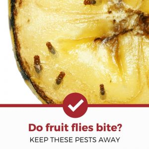 do fruit flies bite