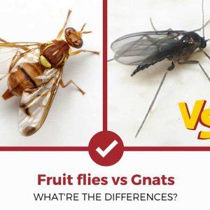 fruit flies vs gnats