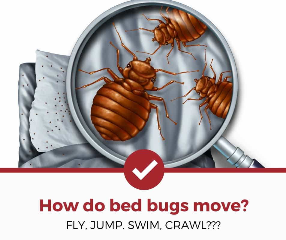 how do bed bugs move around