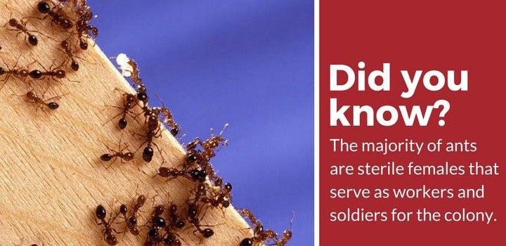 sterile-female-ants.jpg