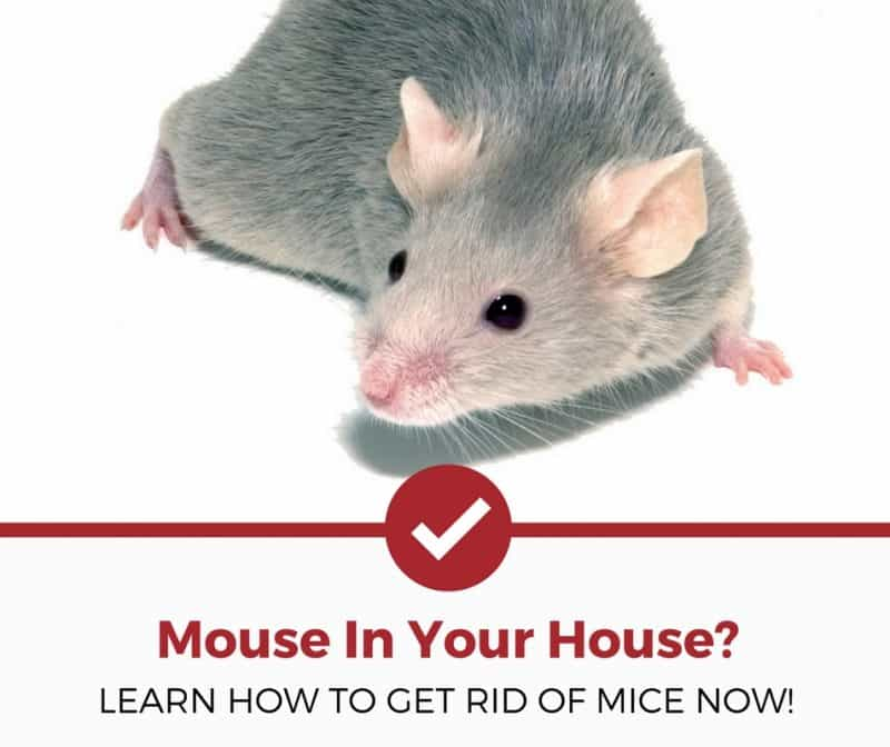 Natural Methods To Get Rid Of Mice