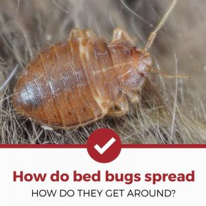 how do bed bugs spread around