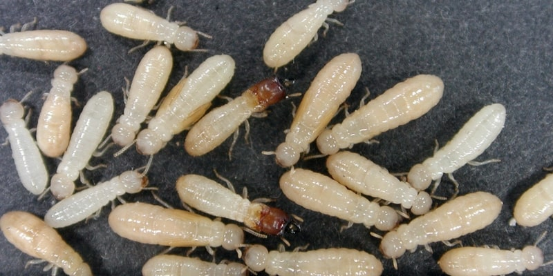 drywood termite fumigation cost