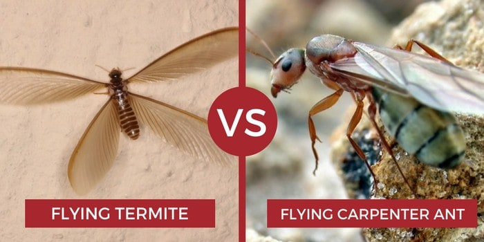 flying termite vs flying carpenter ant