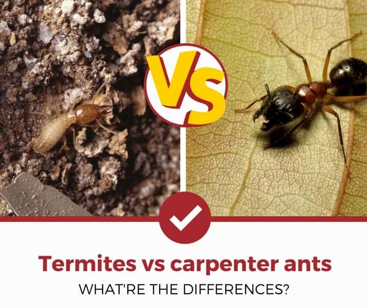 termites vs carpenter ants differences