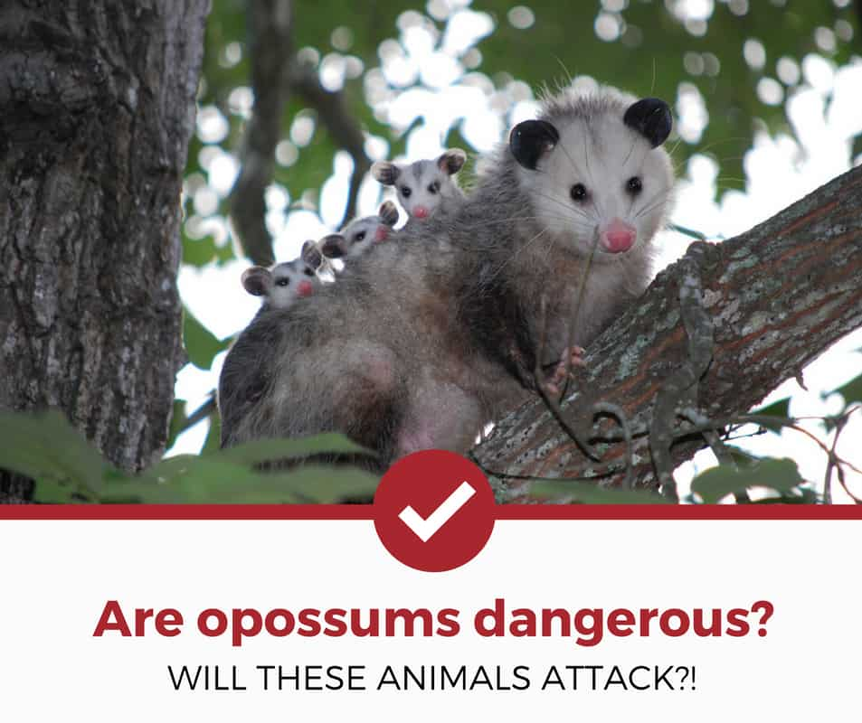 are opossums dangerous