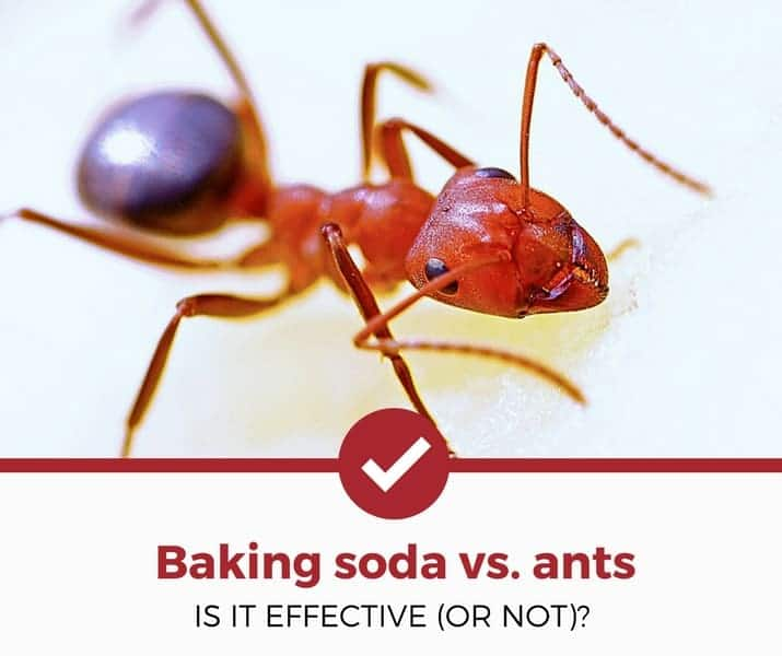 Does Baking Soda Kill Ants Is It Effective Or Not Pest Strategies