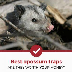 best opossum traps