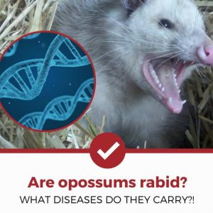 do opossums carry diseases_