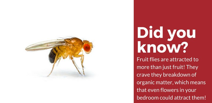 fruit fly attraction facts
