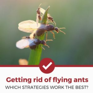 getting rid of flying ants