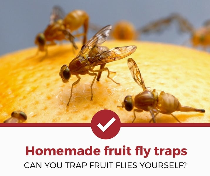 homemade fruit fly traps
