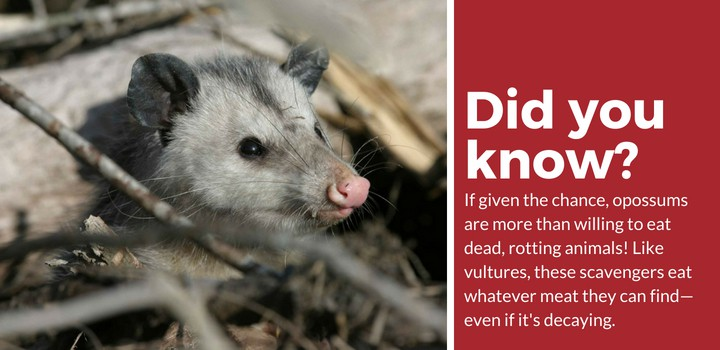 opossums in the attic facts