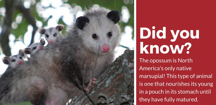 possum vs opossum facts