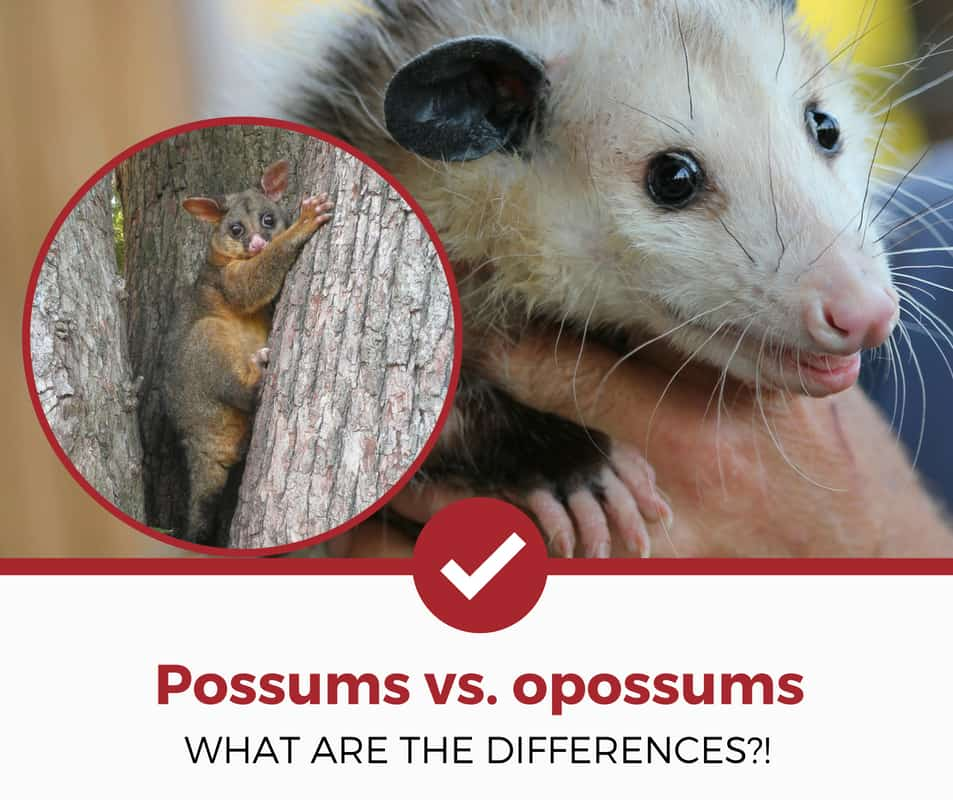 possums vs opossums