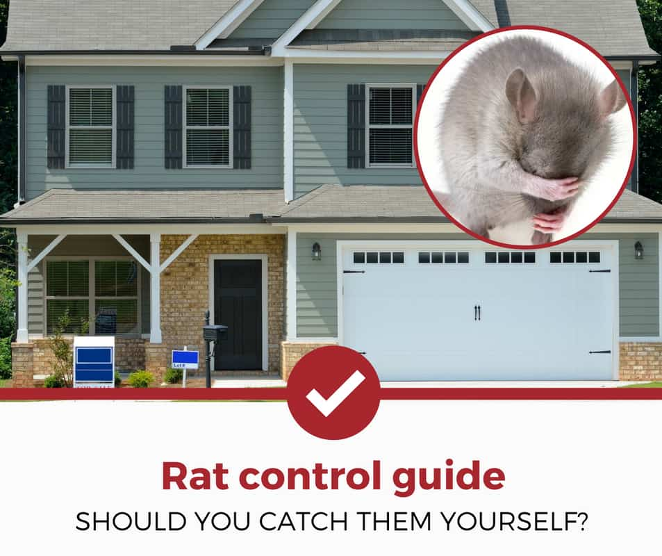 How Much Do Rat Exterminators Cost? (A Simple Guide) - Pest