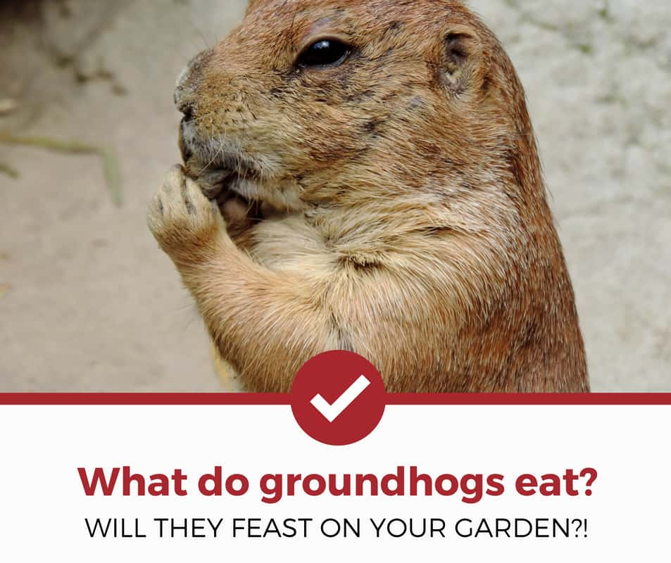 what do groundhogs eat_