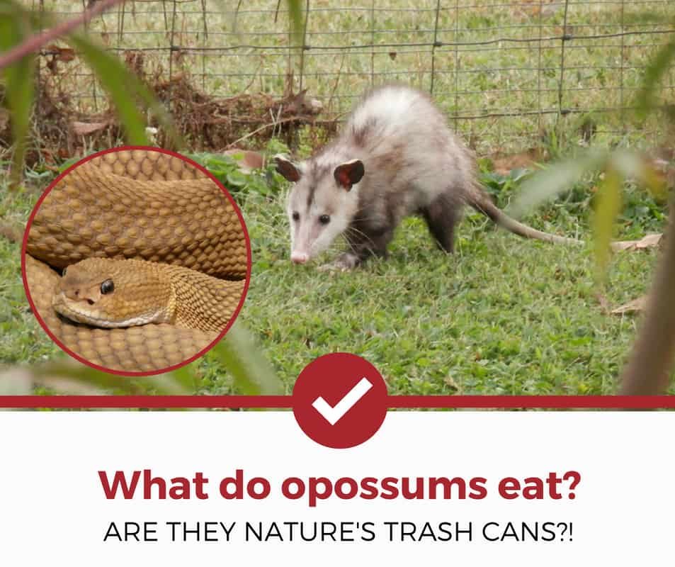 what do opossums eat_