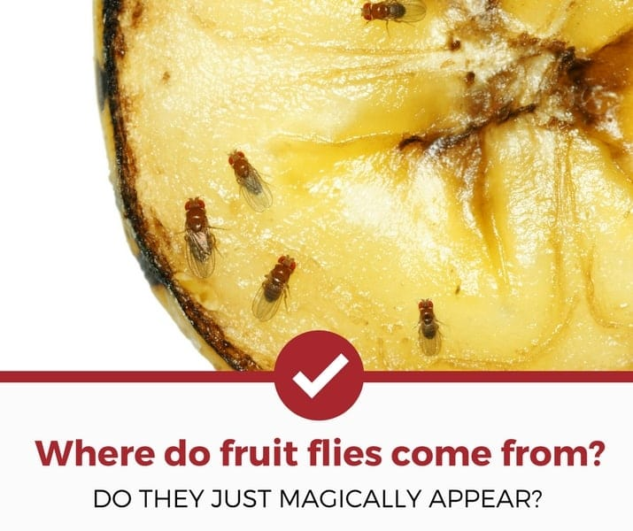 where do fruit flies come from