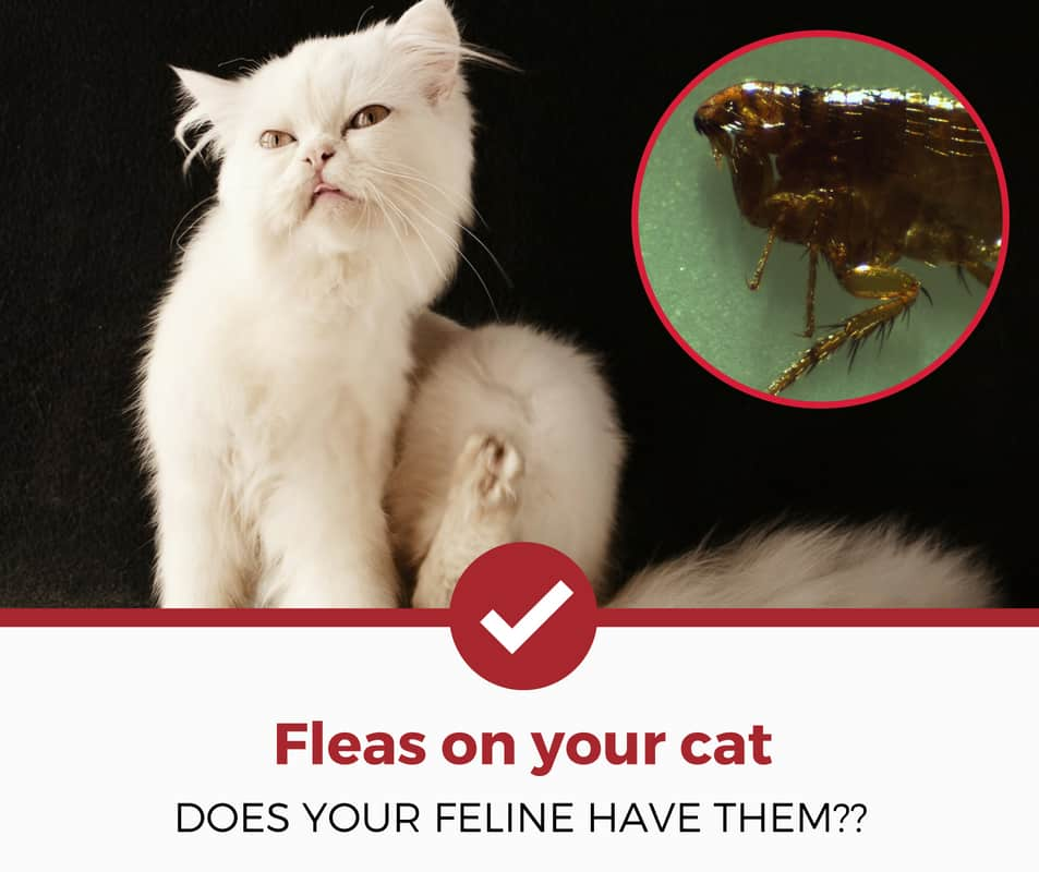 how to tell if your cat has fleas?